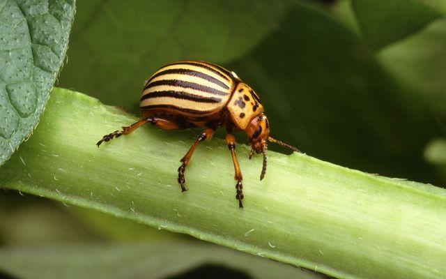 a rovarok hossza