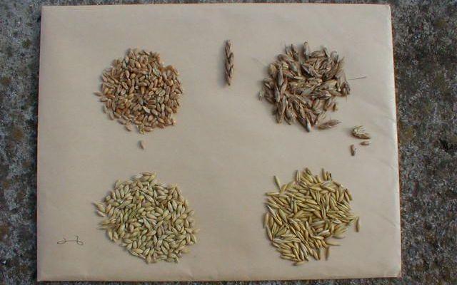 b49194a2de97 Gabonamagvak: Általános jellemzőjük: szénhidrátban gazdagok, fehérjében  szegények, zsírtartalmuk alacsony vagy közepes (búza, árpa, rozs, zab,  stb.).